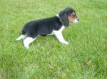 Ohio AKC beagle pups