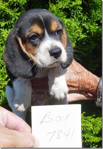 beagle breeders in ohio